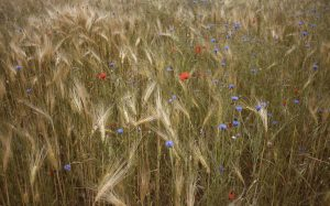 poppies and hay